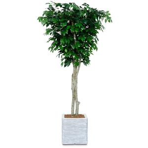 Artificial Benjamina Ficus Tree 7ft