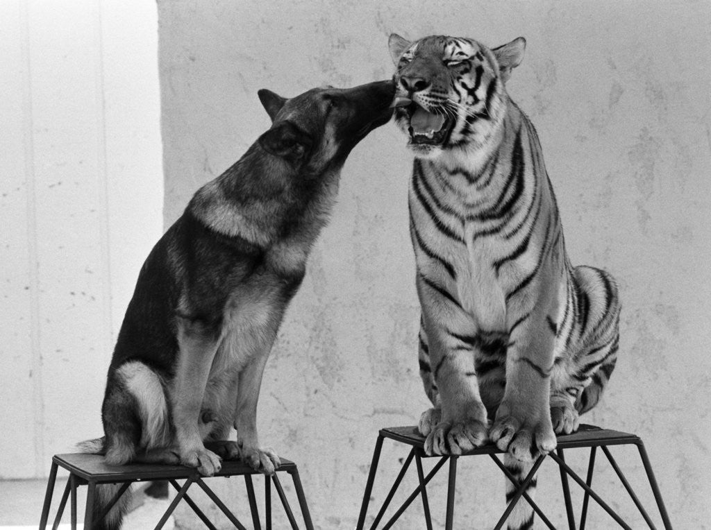 Detail of Friendship of Tiger and Dog by Kent Gavin