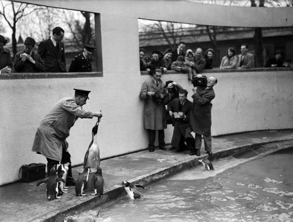 Detail of Emperor Penguin at London Zoo, 1950 by Staff