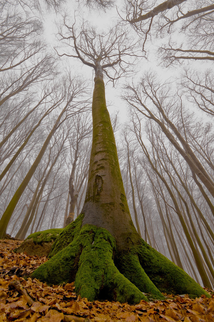 Detail of The Beech with a Human Face by Leszek Paradowski
