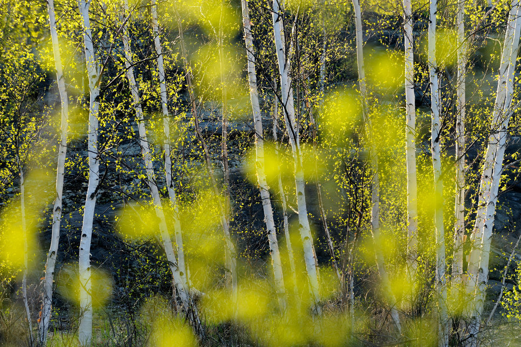Detail of Birch Trees and Foliage in Spring by Don Johnston