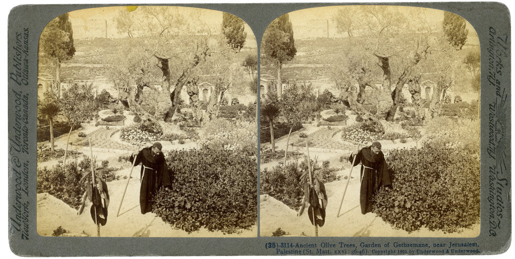 Detail of Ancient olive trees in the Garden of Gethsemane, near Jerusalem, Palestine by Underwood & Underwood