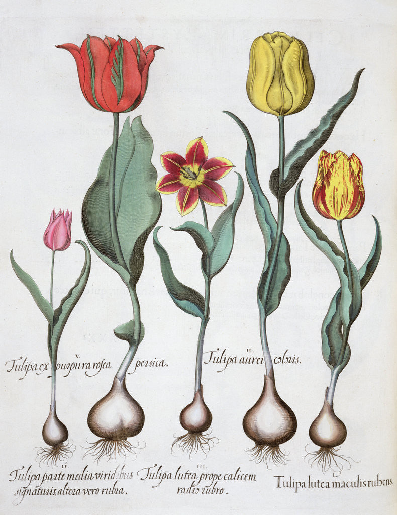 Detail of Tulips by Anonymous