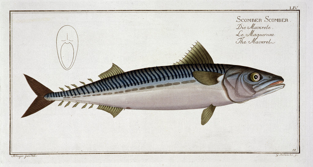 Detail of Mackerel (Scomber Scomber) by Gabriel Bodenehr I