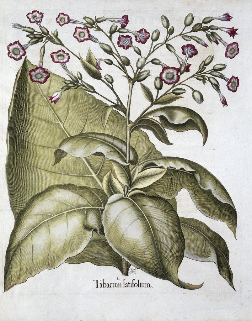 Detail of Tobacco plant by Anonymous