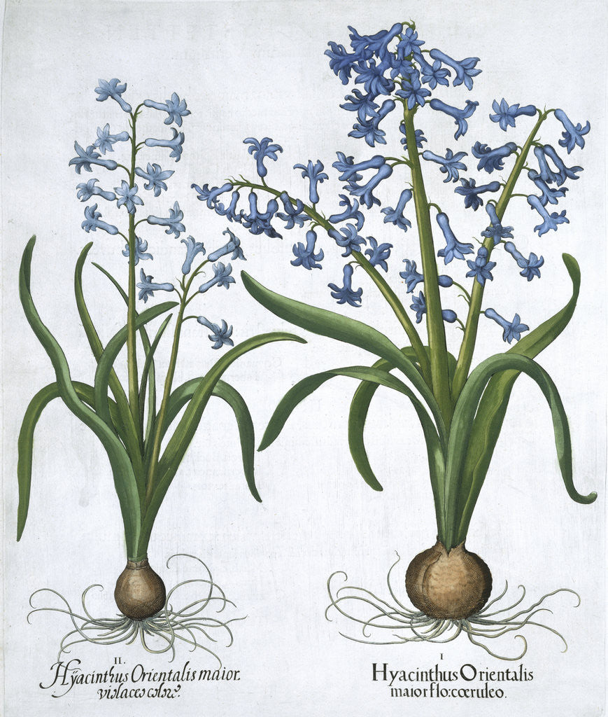 Detail of Two blue hyacinths by Anonymous