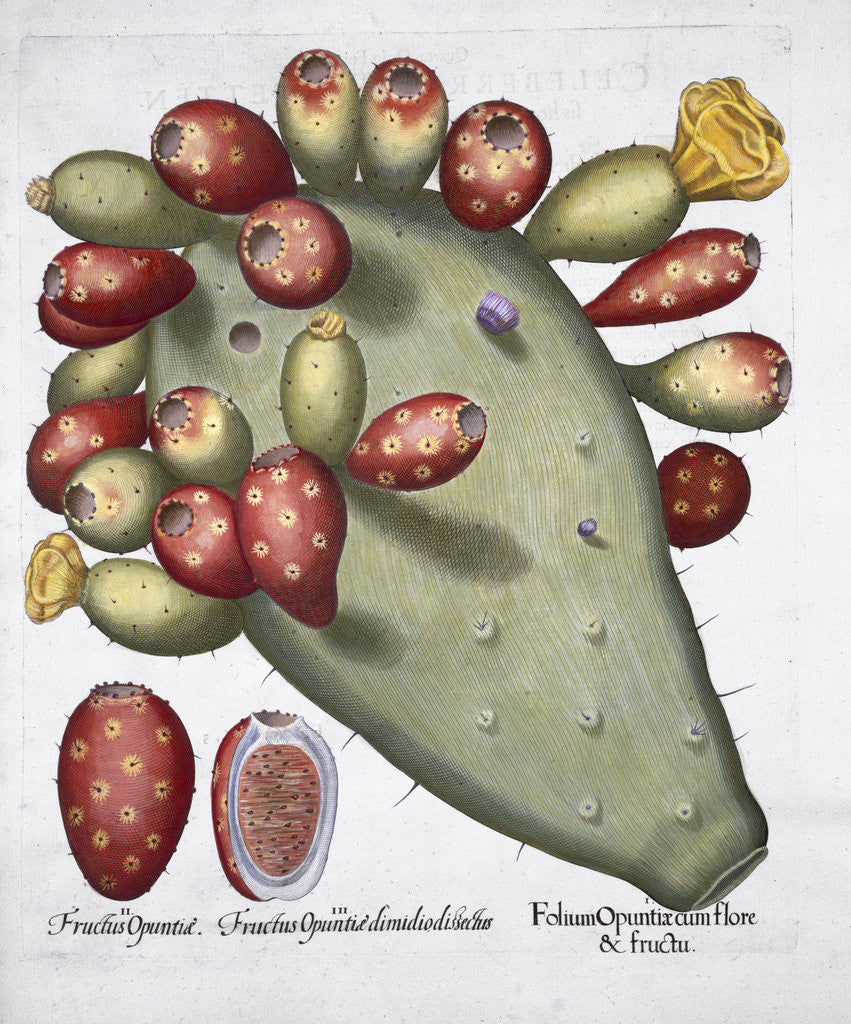 Detail of Folium Opuntia by Anonymous