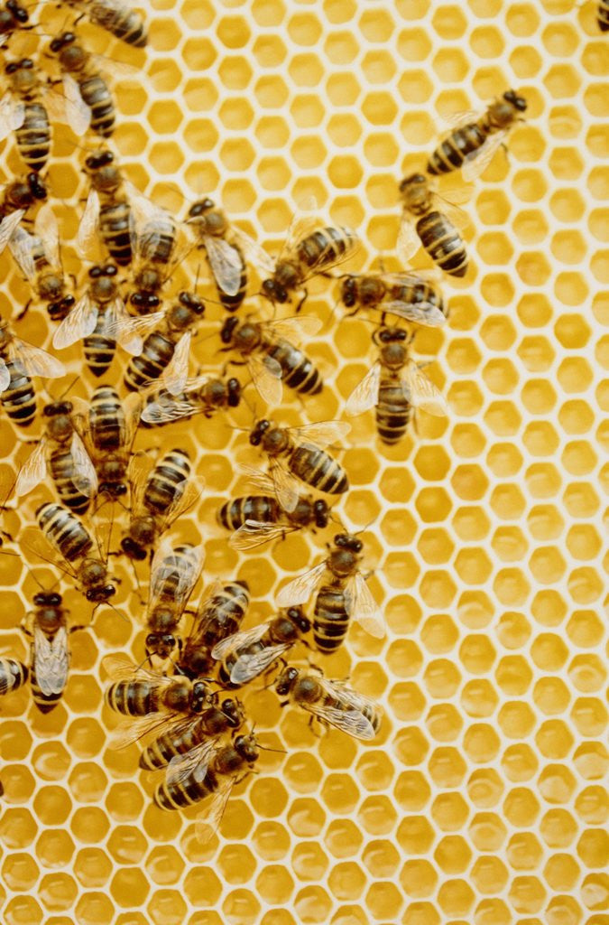Detail of Bees on honeycomb by Corbis