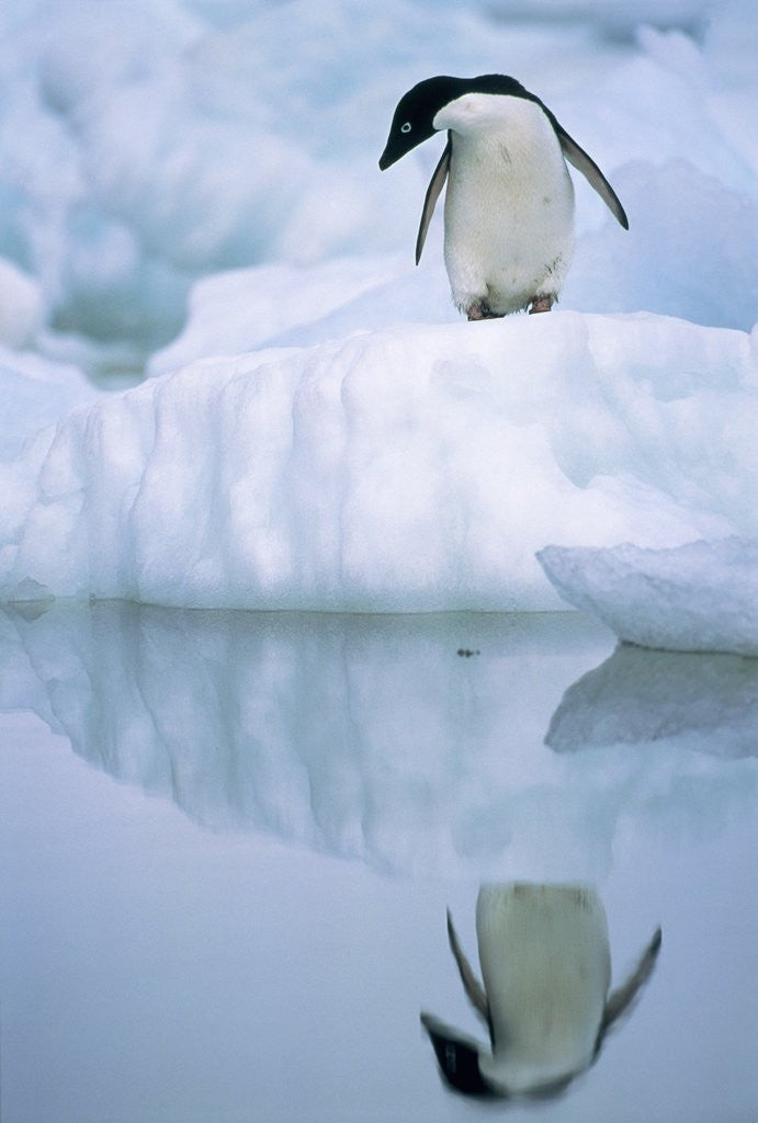 Detail of Adelie penguin on ice floe by Corbis