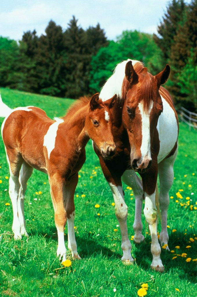 Detail of Pied mare with foal in a meadow by Corbis