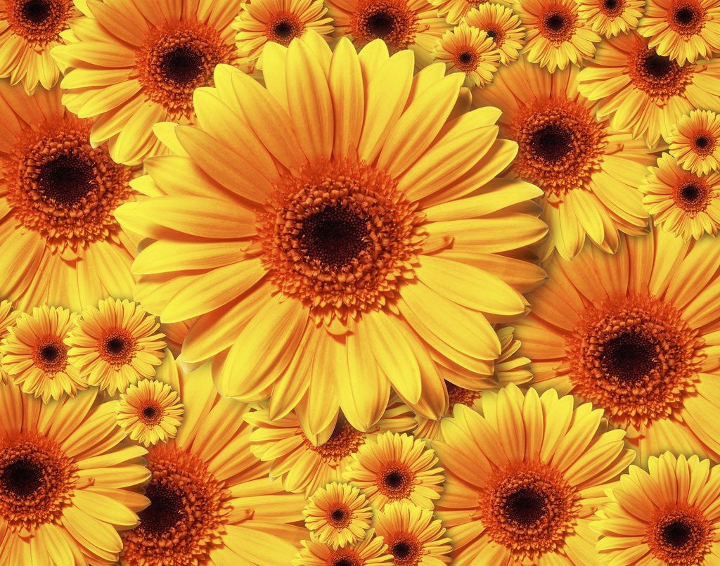 Detail of Sun flowers by Corbis