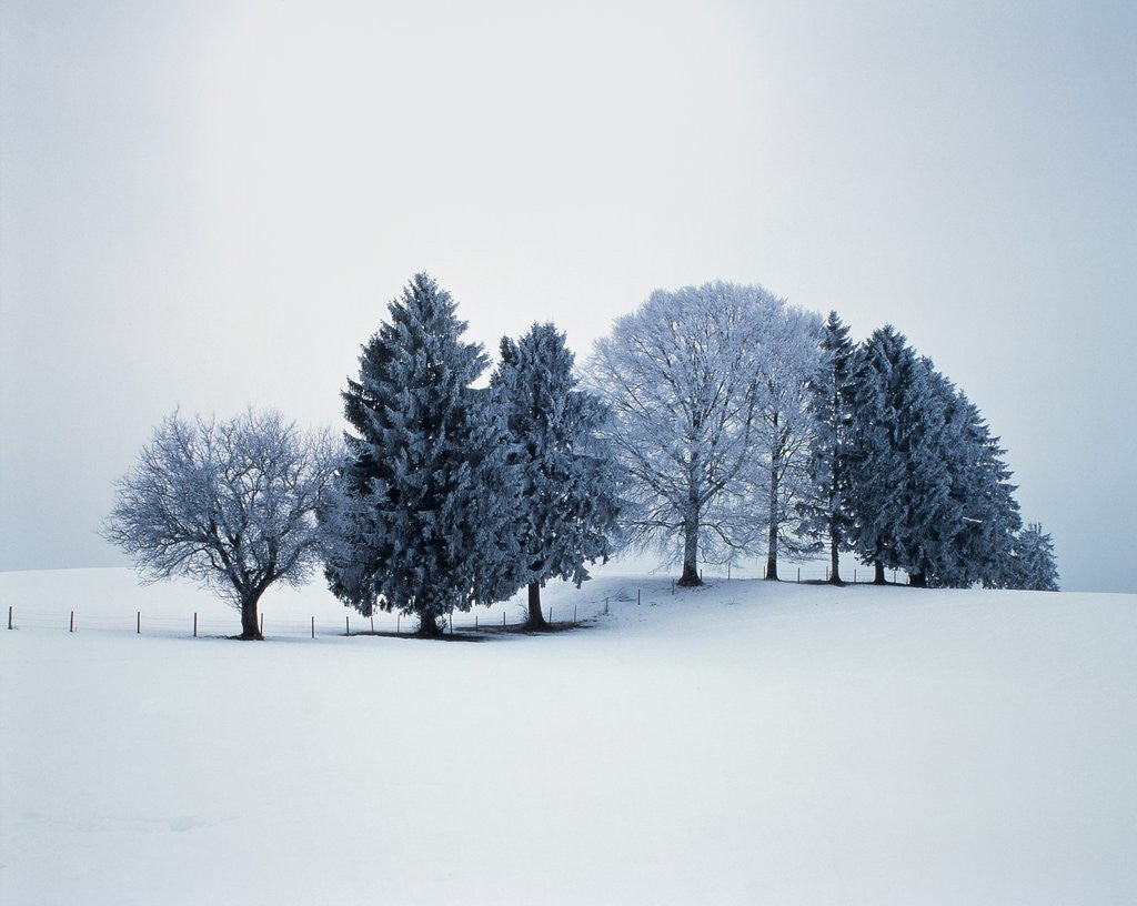 Detail of Group of trees in winter by Corbis