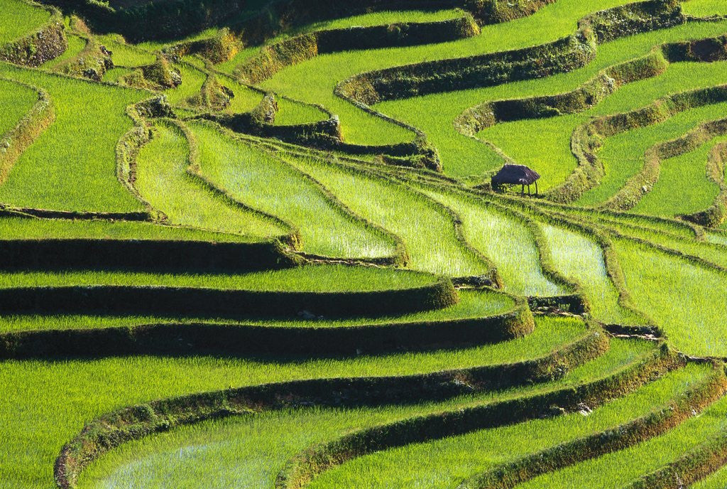 Detail of Terraced rice fields in Yunnan Province, China by Corbis