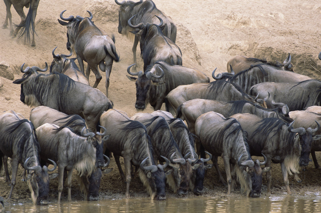 Detail of Wildebeest Drink from Mara River by Corbis