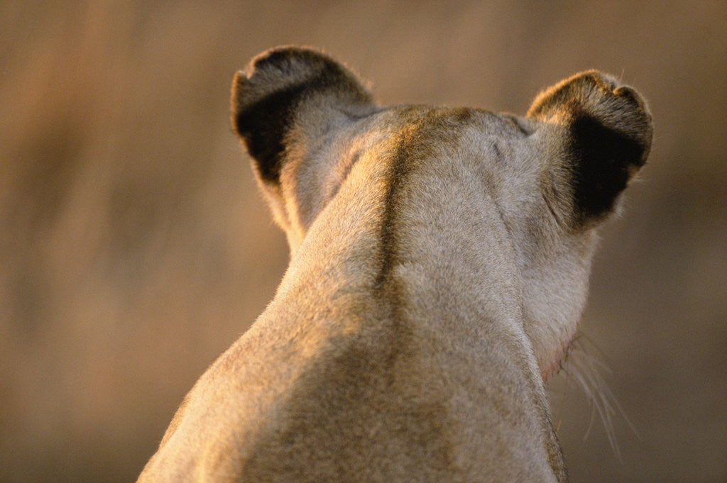 Detail of Back of Lioness' Head by Corbis