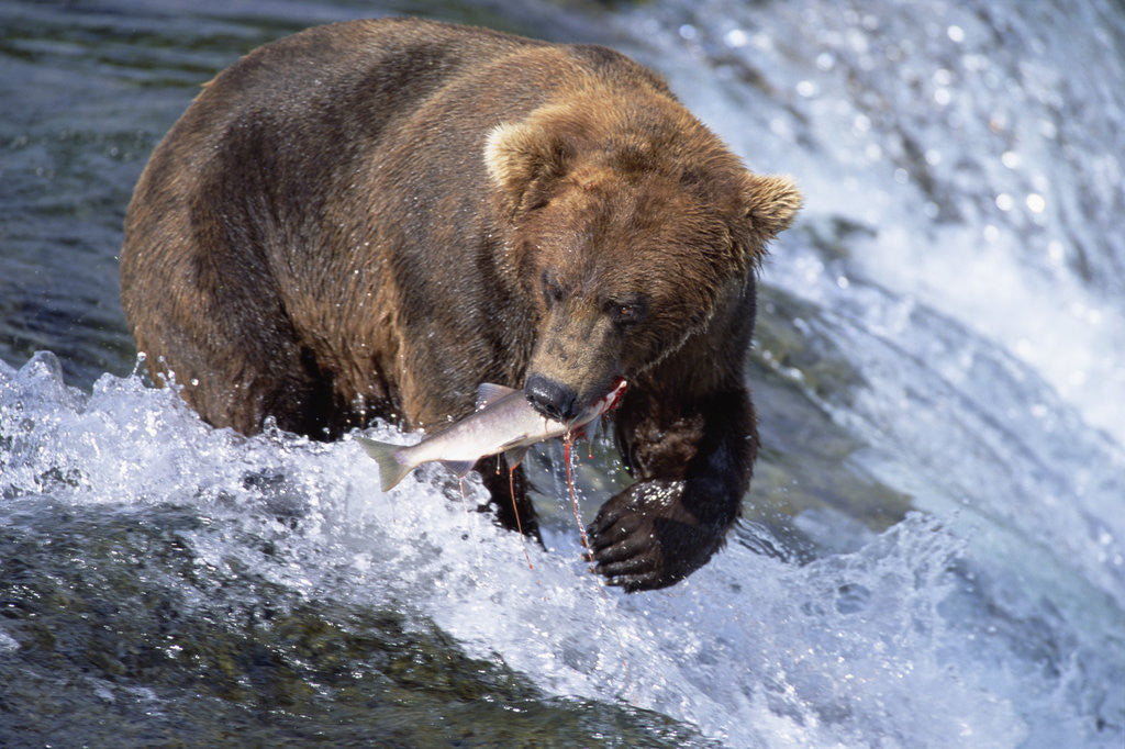 Brown Grizzly Bear Catching Fish In Alaska Posters Prints By Corbis