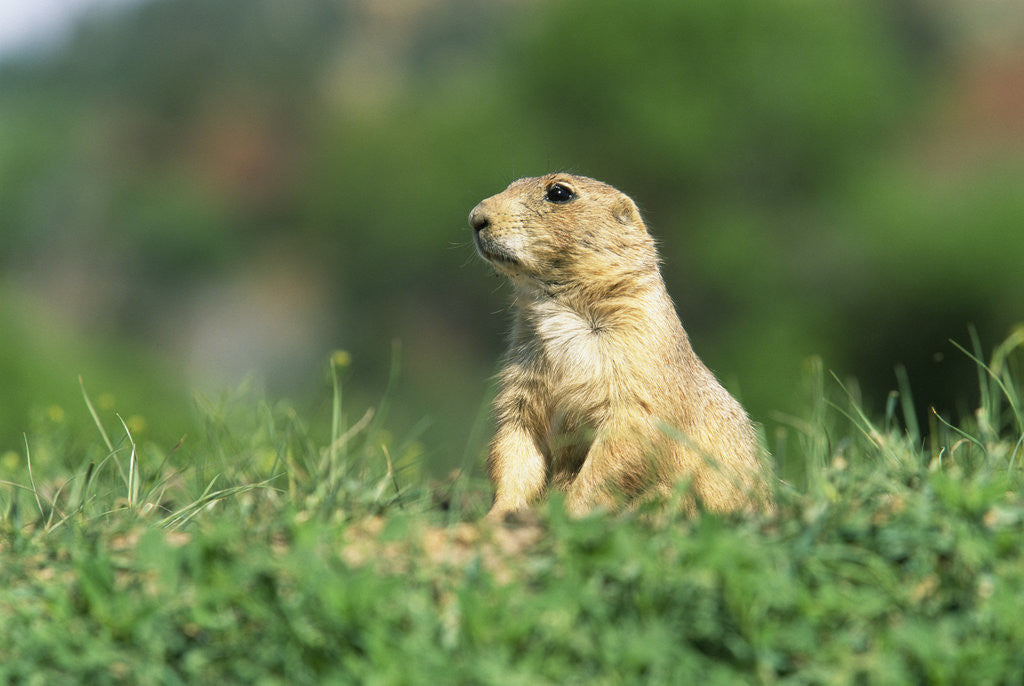 Detail of Black-Tailed Prairie Dog in Wyoming by Corbis