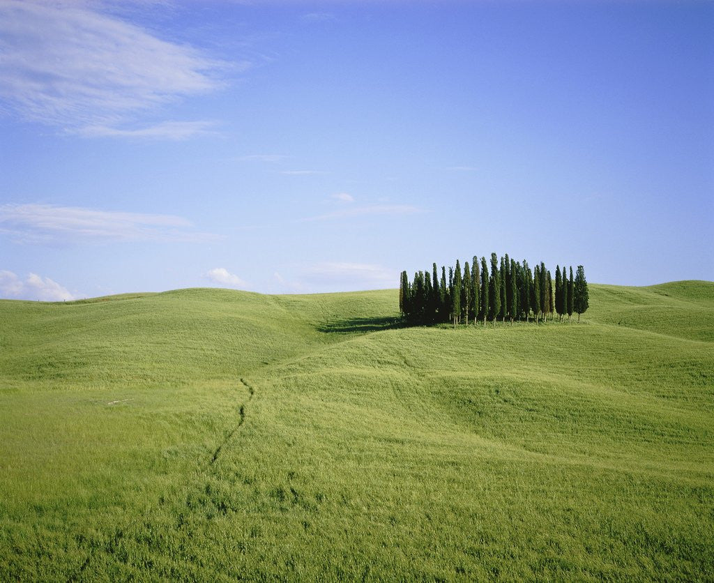 Detail of Cypresses on a meadow in the Tuscany by Corbis