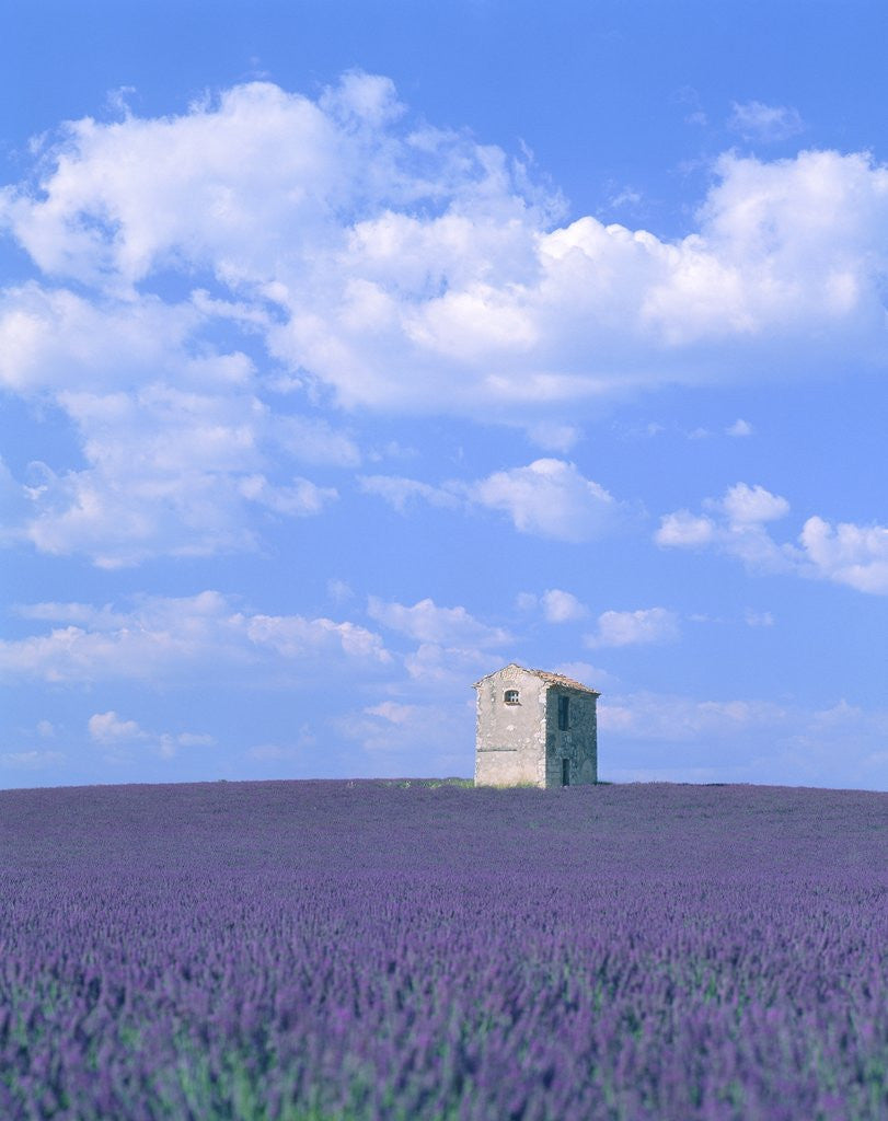 Detail of Blooming lavender and stone house in France by Corbis