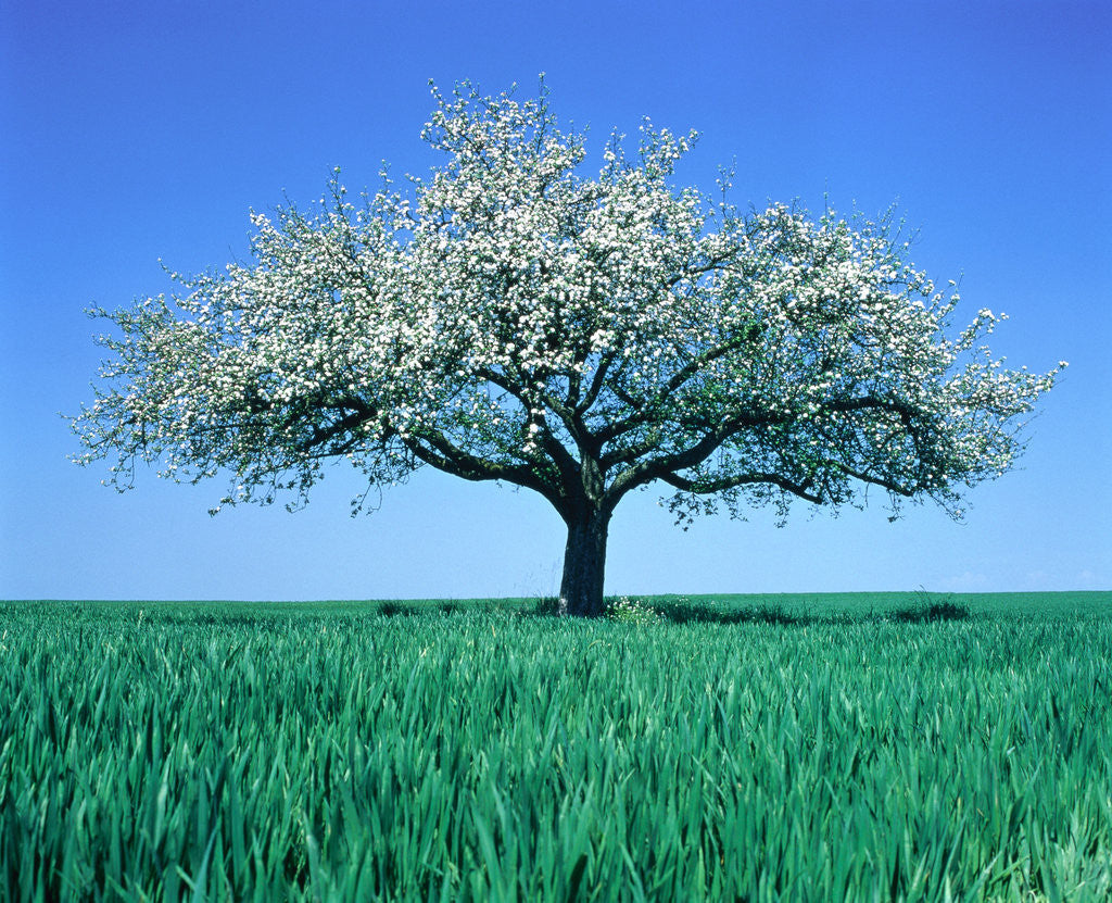 Detail of Blossoming Tree in Field by Corbis