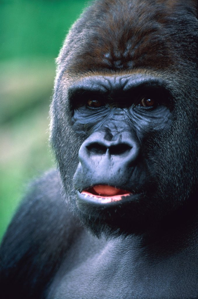 Detail of Gorilla by Corbis