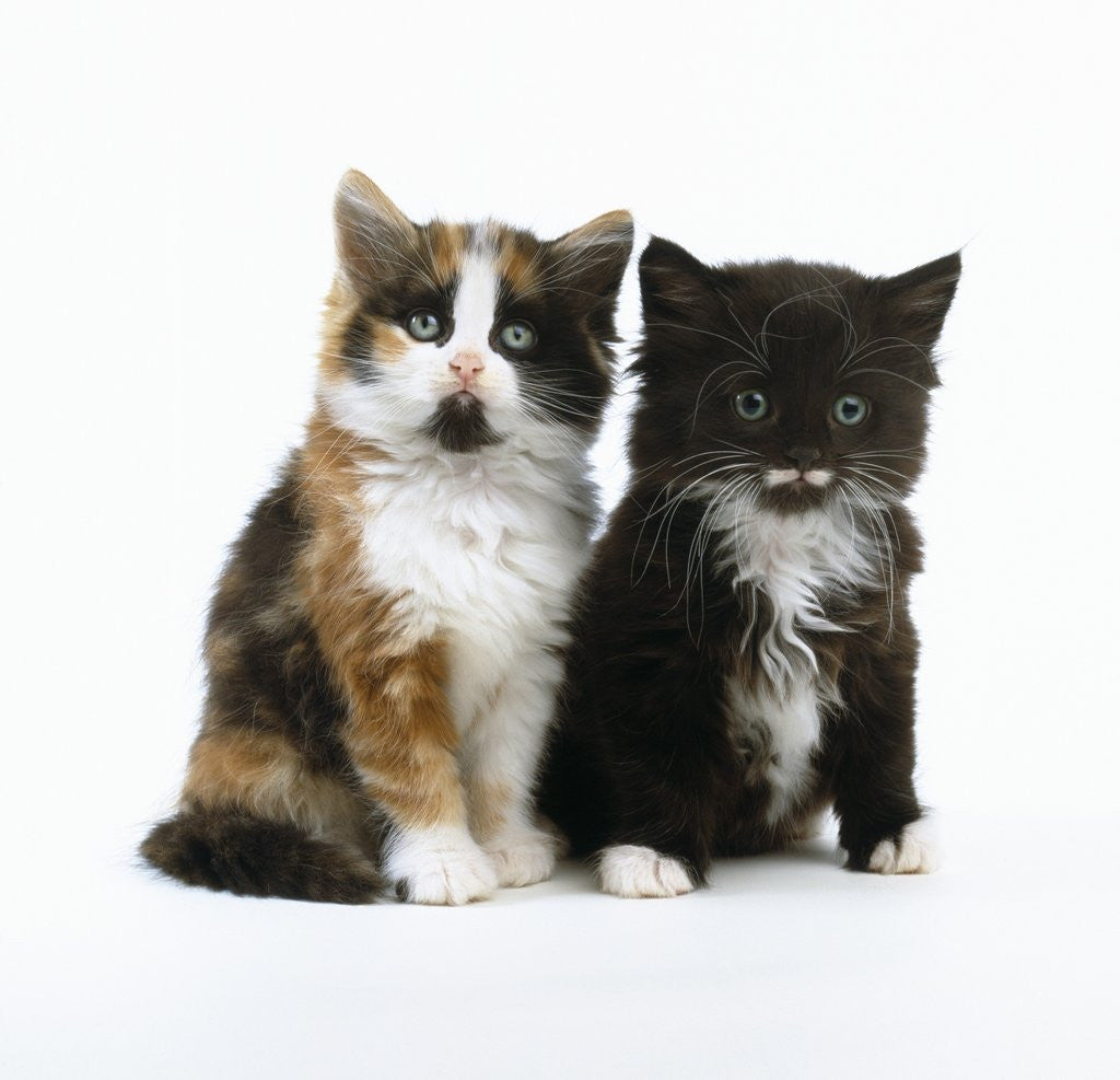 Long Haired Kittens Posters Prints By Corbis