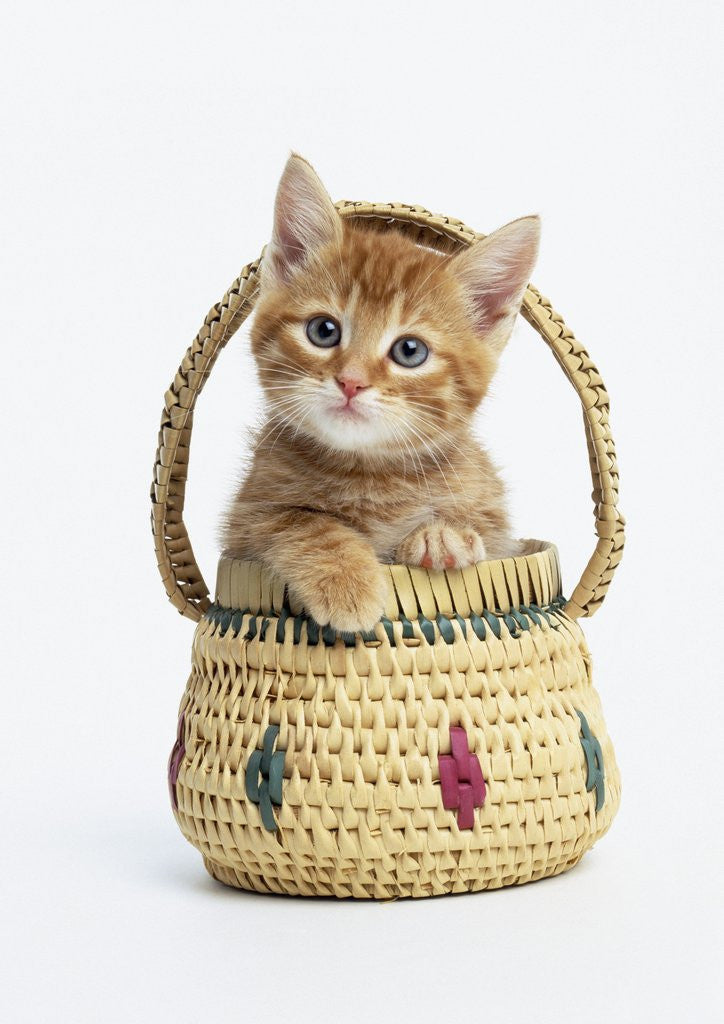 Detail of Orange Tabby Kitten in Basket by Corbis