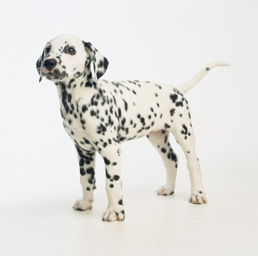 Detail of Dalmatian Puppy by Corbis