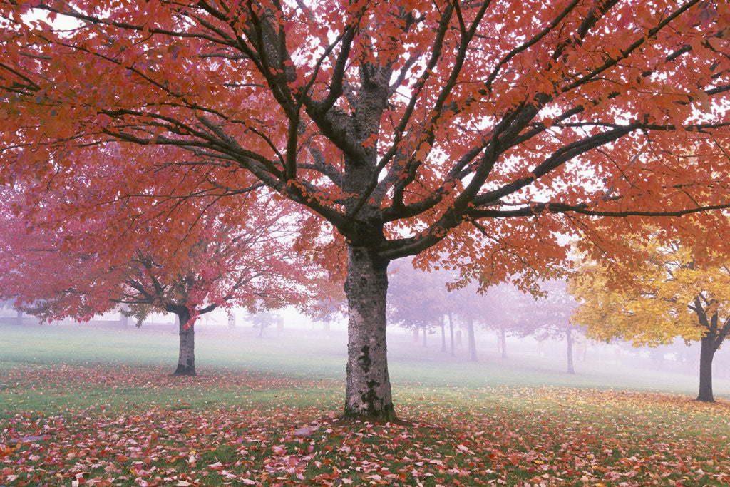 Detail of Fall Foliage in Fog by Corbis