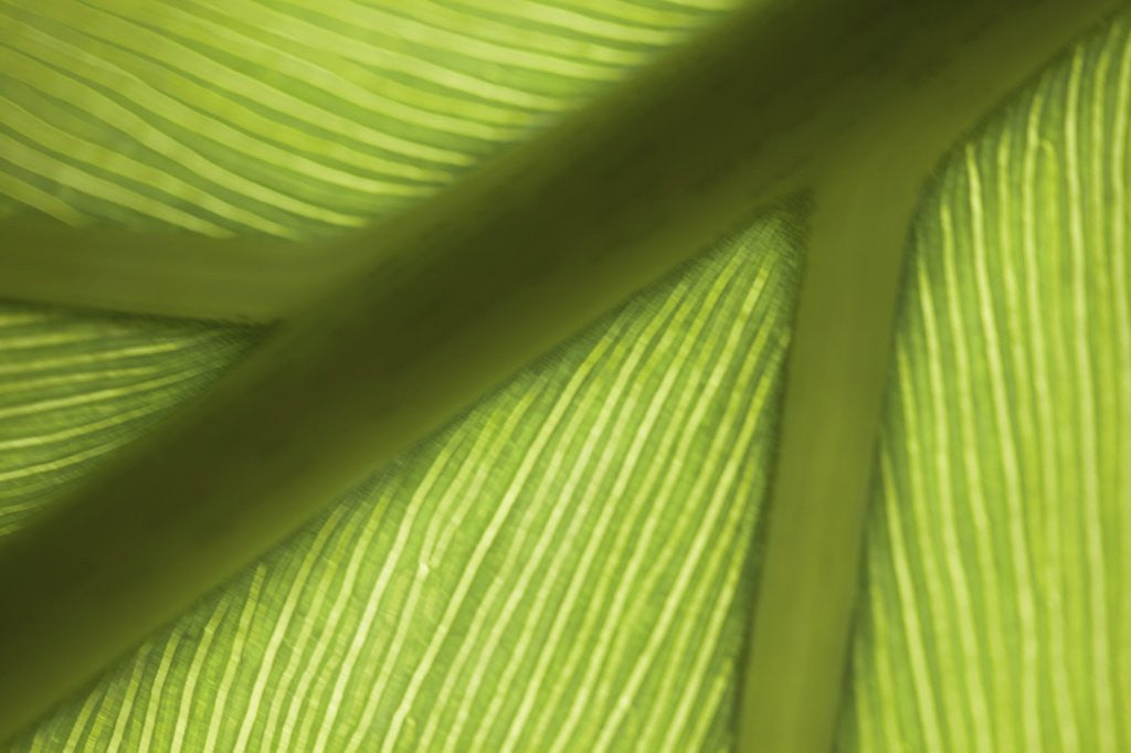 Detail of Close up view of the ridge of a leaf by Corbis