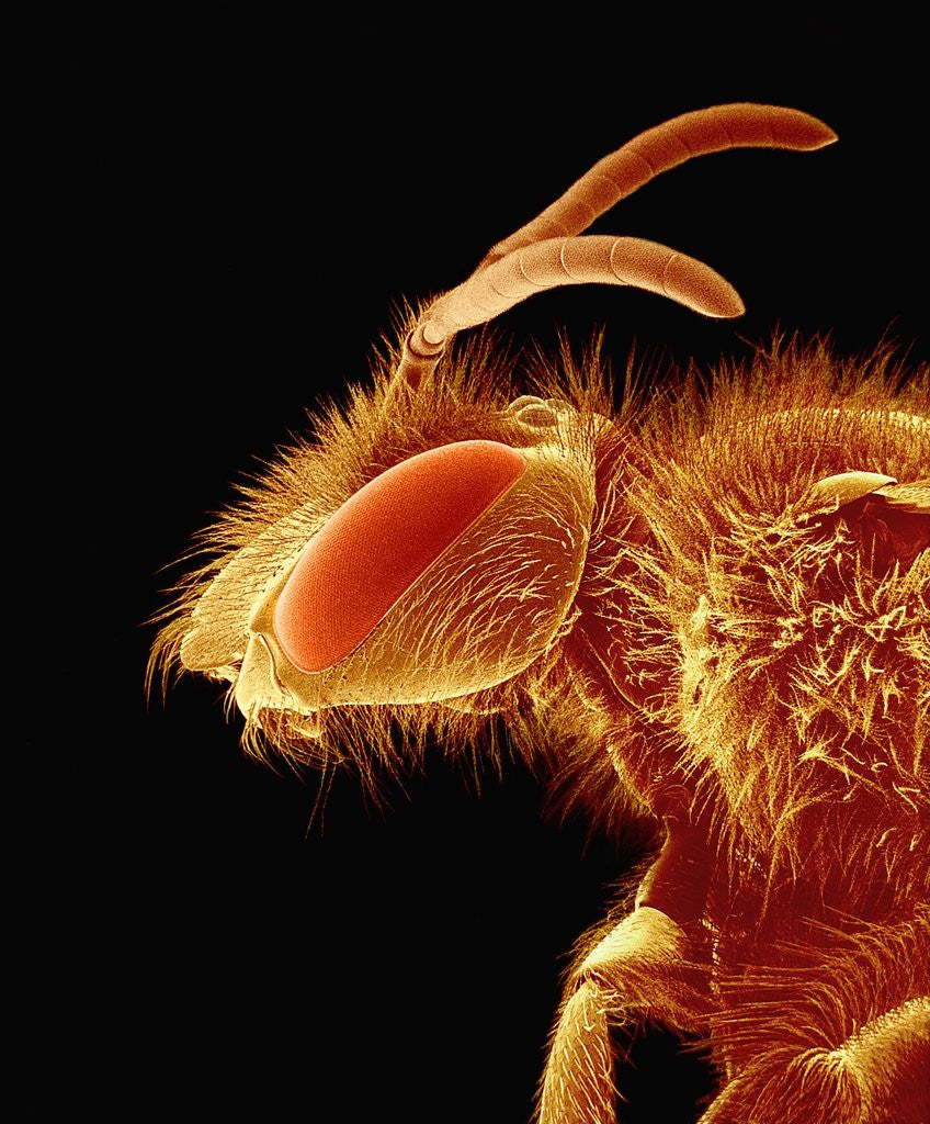 Detail of Head of a Bee by Corbis