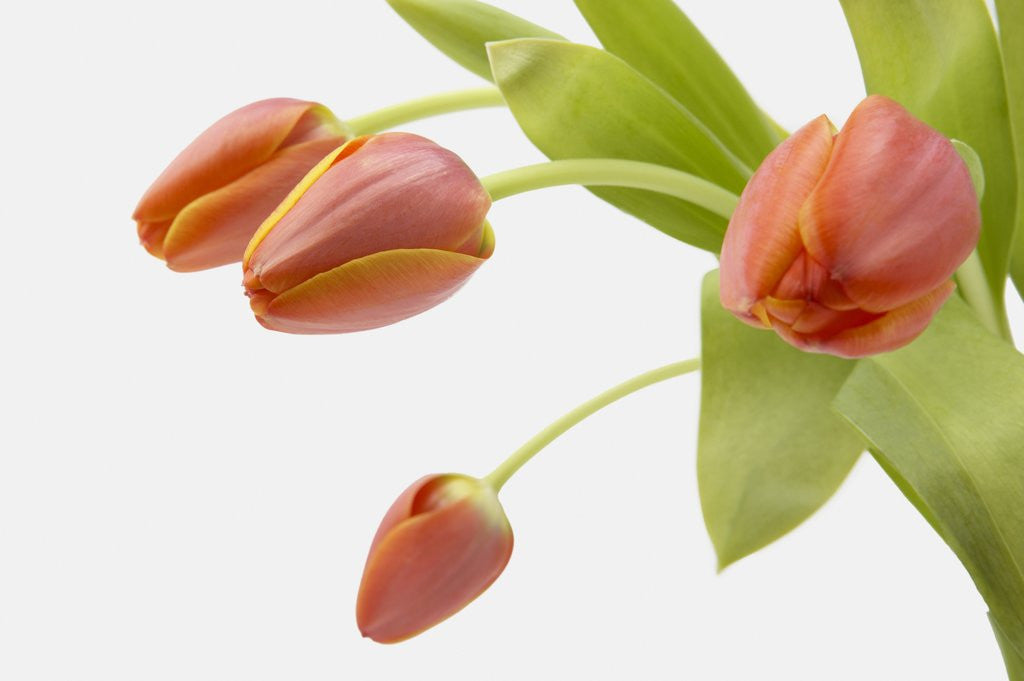 Detail of Four Red Tulips by Corbis