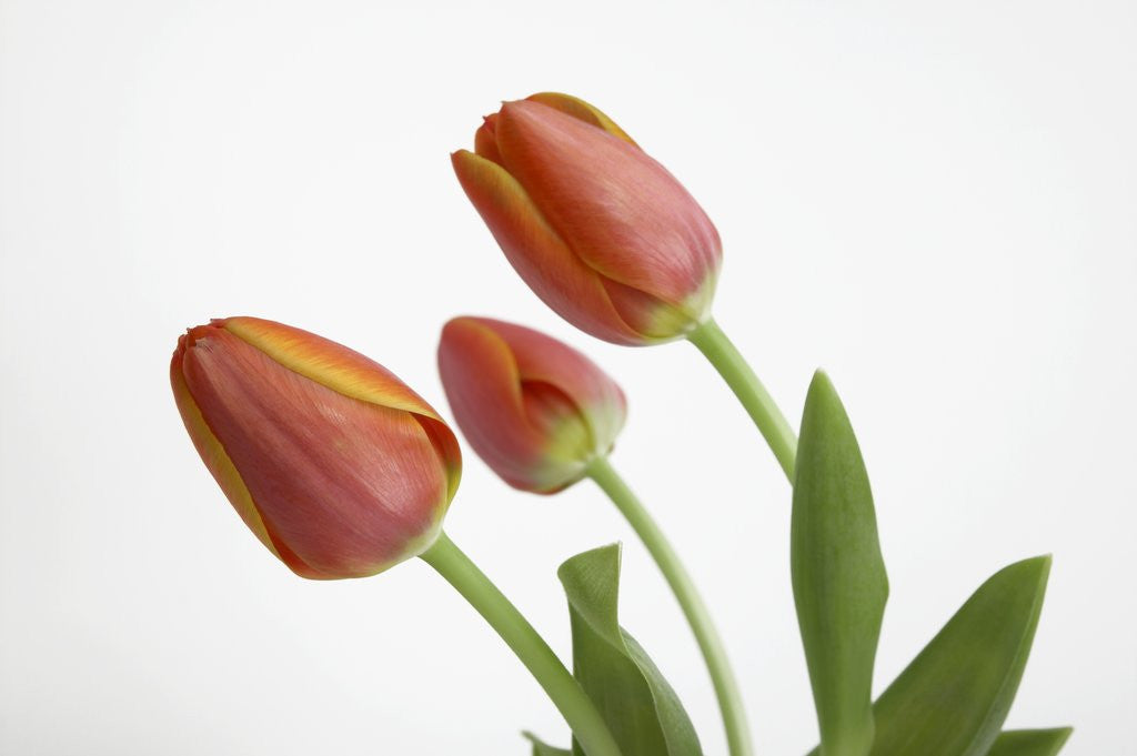 Detail of Bent Red Tulips by Corbis