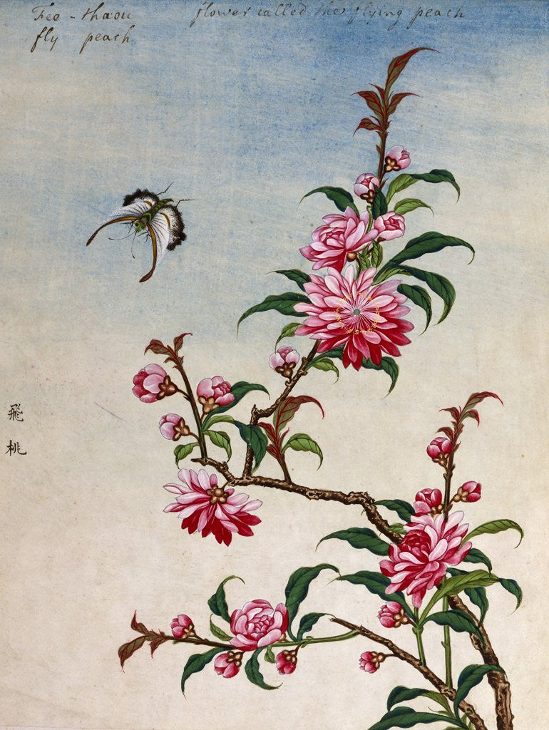 18th century chinese watercolor of pink flowers posters prints by