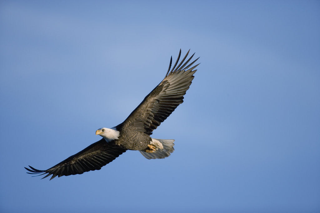 Detail of Bald Eagle in Flight by Corbis