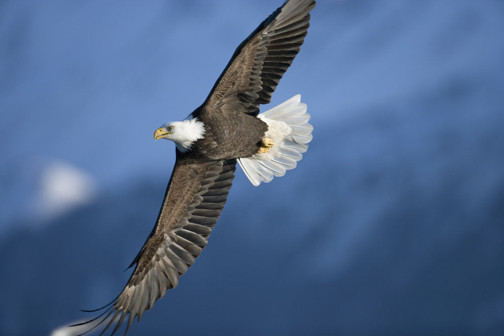 Detail of American Bald Eagle in Flight by Corbis