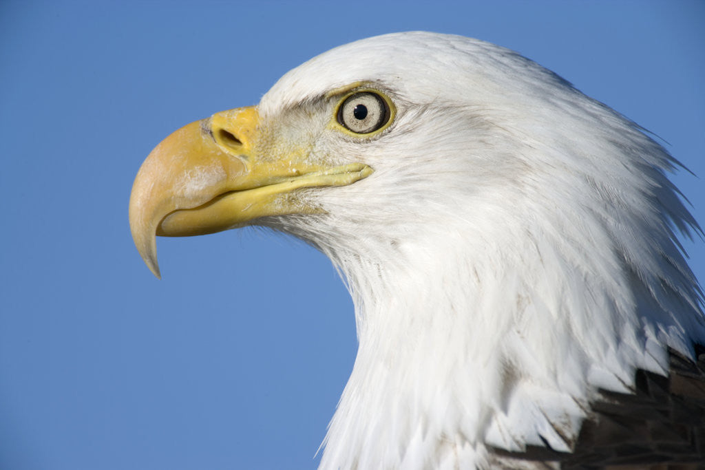 Detail of Bald Eagle by Corbis