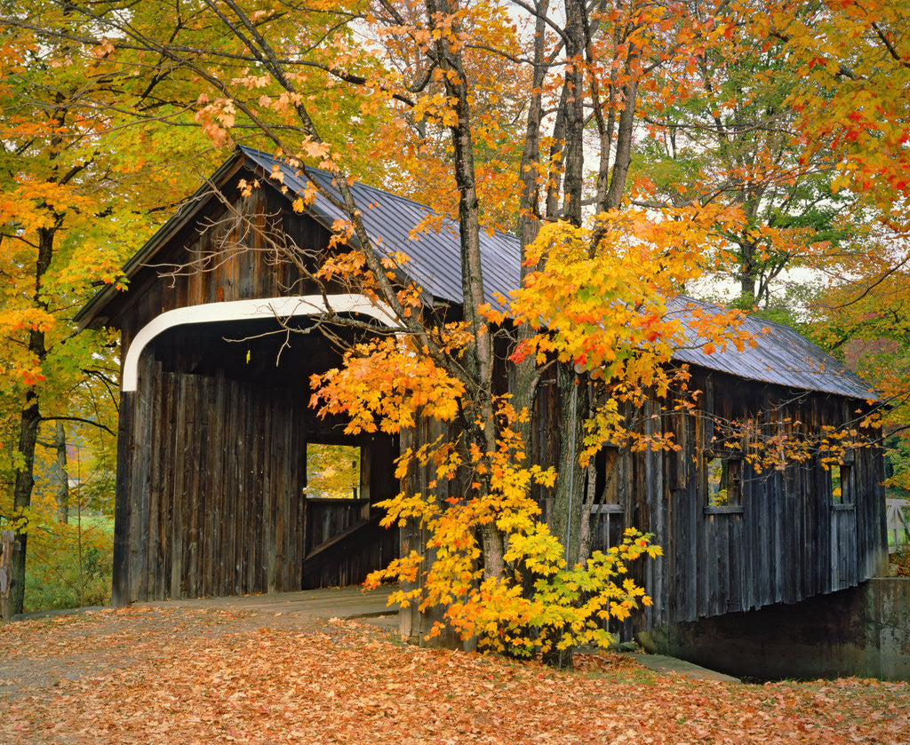 Detail of Covered Bridge and Maple Trees by Corbis