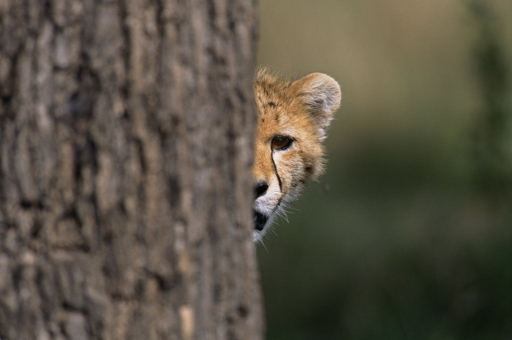 Detail of Cheetah Cub Hiding Behind Tree Trunk by Corbis