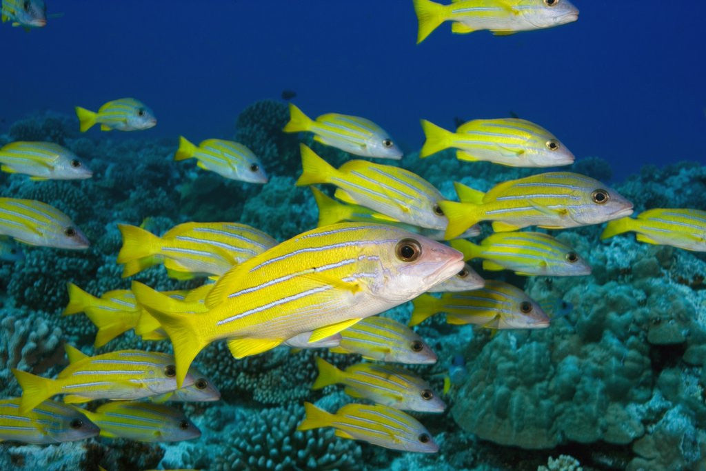Detail of Bluelined Snapper in French Polynesia by Corbis