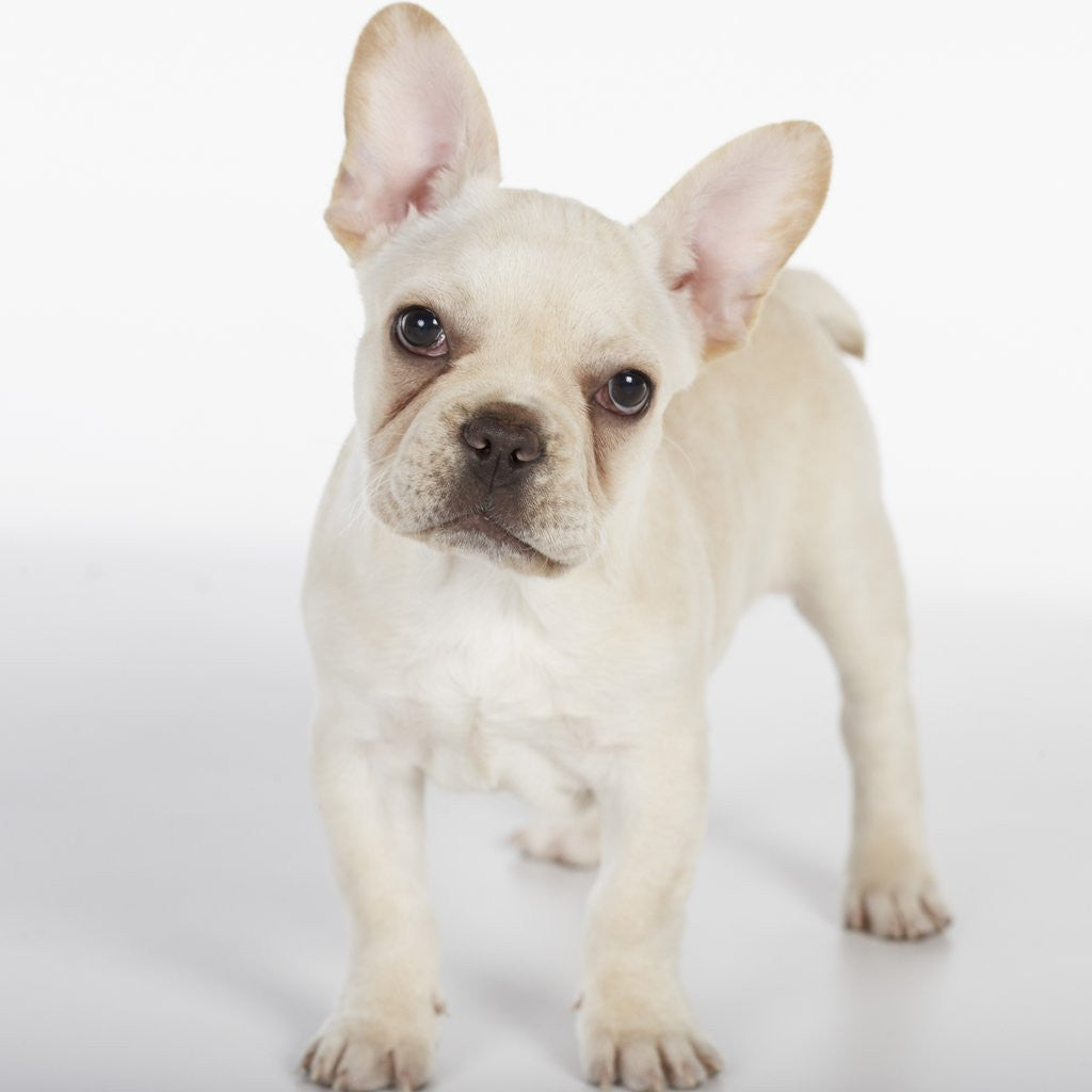 Detail of French Bulldog by Corbis
