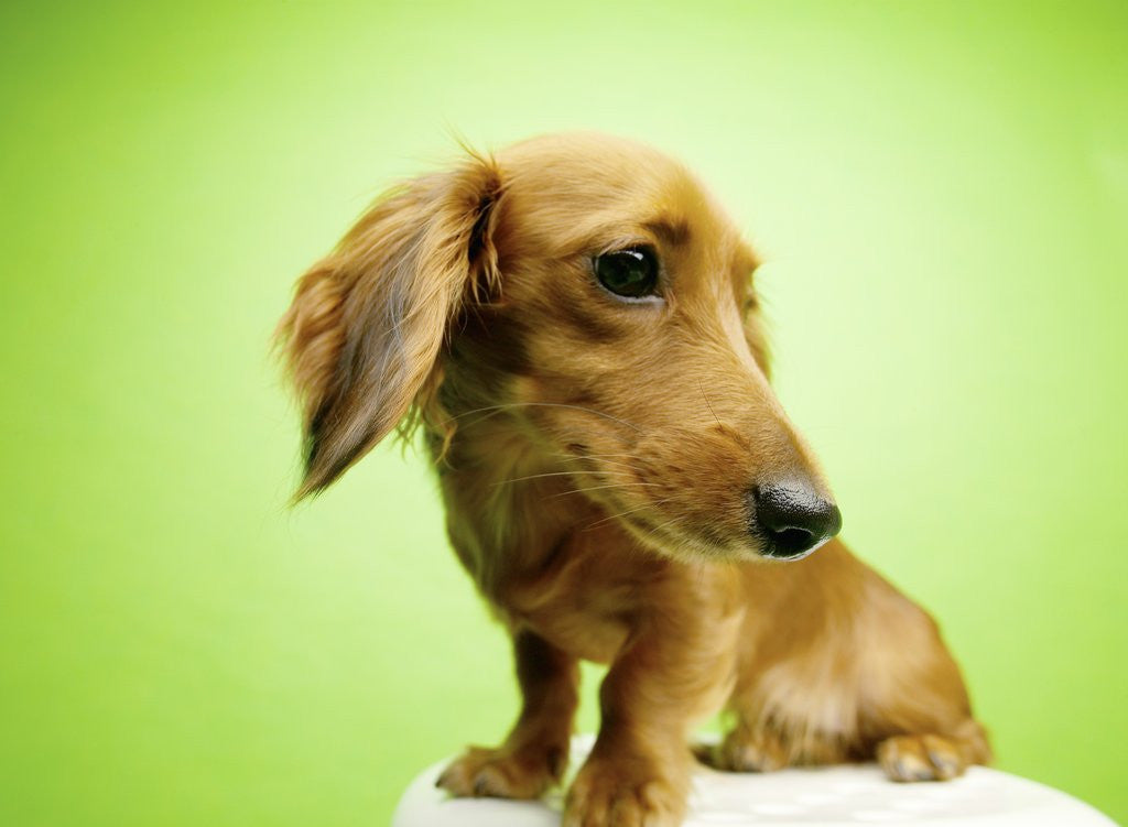 Detail of Cute Dachshund by Corbis