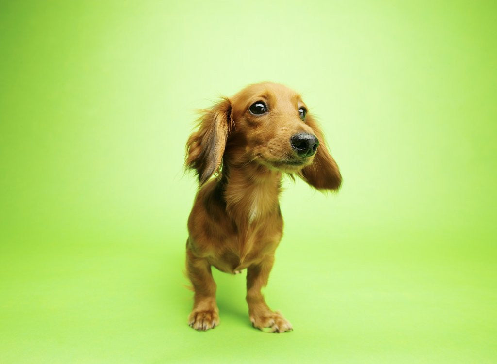 Detail of Dachshund by Corbis