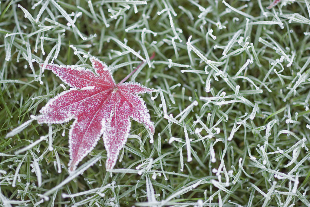 Detail of Frost on Leaf and Grass by Corbis