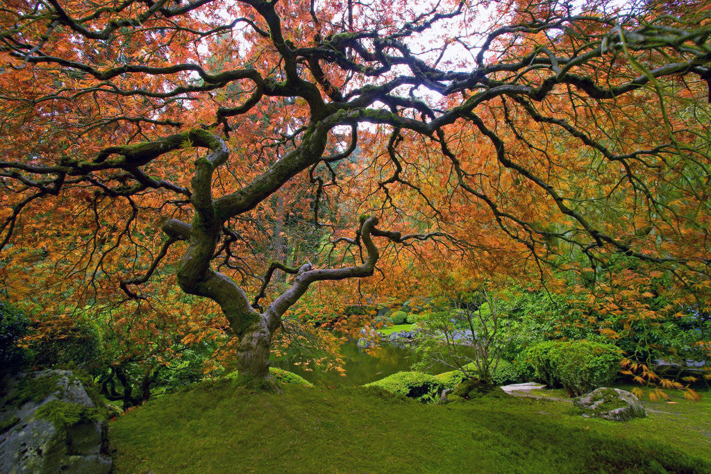 Detail of Japanese Maple in Fall by Corbis