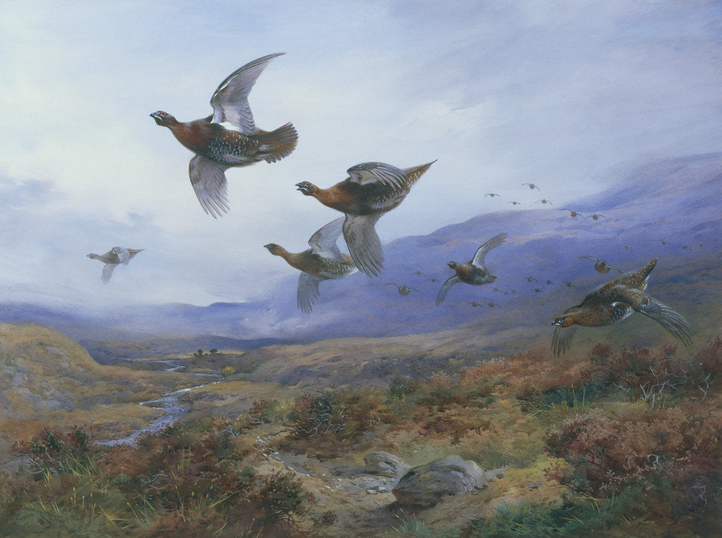 Detail of Grouse Taking Flight by Archibald Thorburn