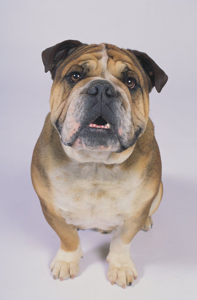Detail of English Bulldog by Corbis