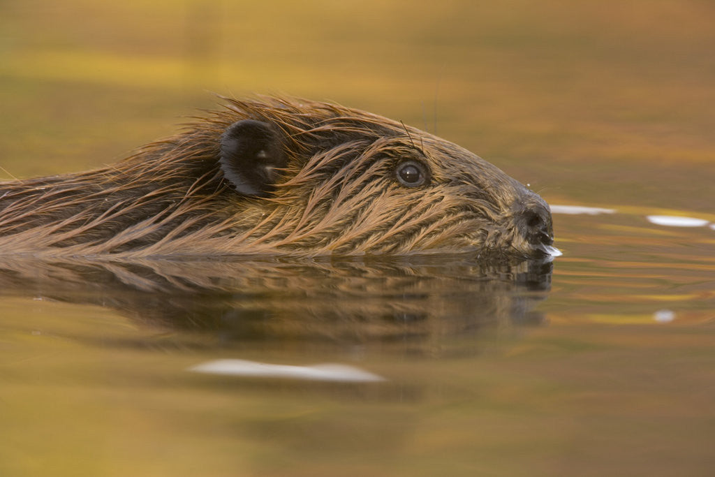 Detail of Beaver in Water by Corbis