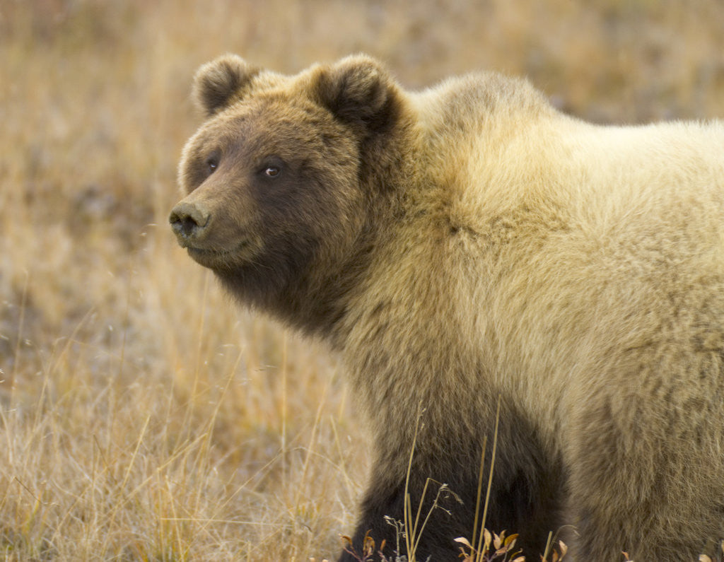 Detail of Grizzly Bear Cub in Tundra by Corbis