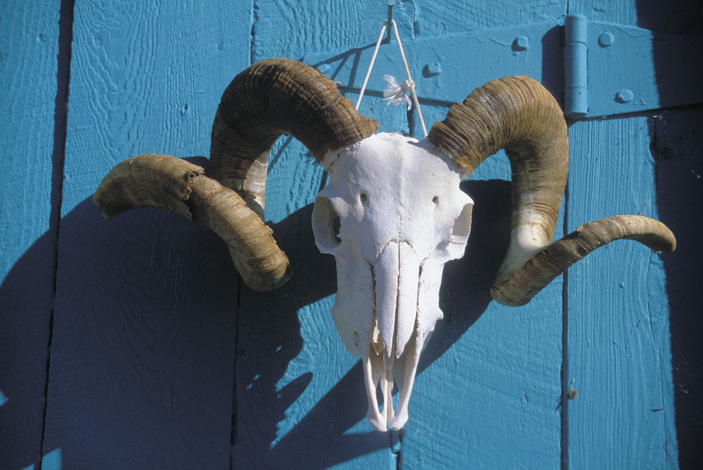 Detail of Ram Skull for Sale by Corbis